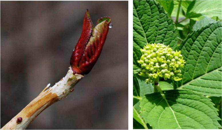 Jardincelas poda de la hortensia jardincelas - Hortensias cuidados poda ...