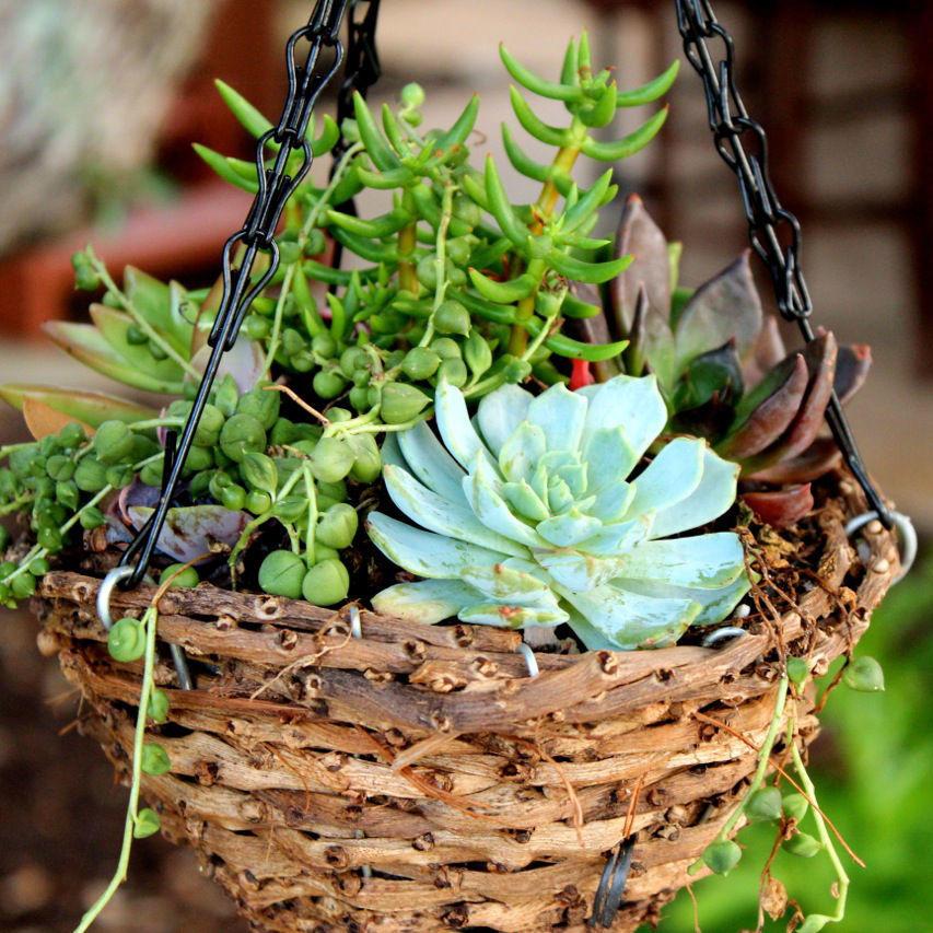Jardincelas descubriendo las suculentas parte 3 3 for Plantas suculentas colgantes