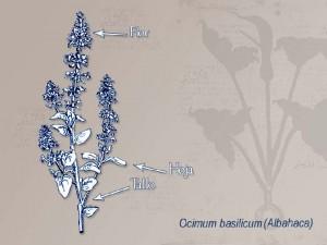 Ilustracion Albahaca
