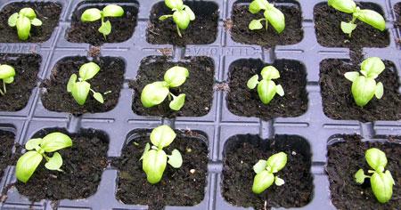 Albahaca semillas