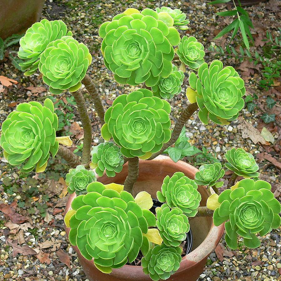 Suculentas JardinCelas Aeonium Arboreum