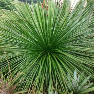 Suculentas JardinCelas Agave Geminiflora