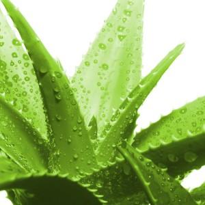 Suculentas JardinCelas Aloe Vera Barbadensis