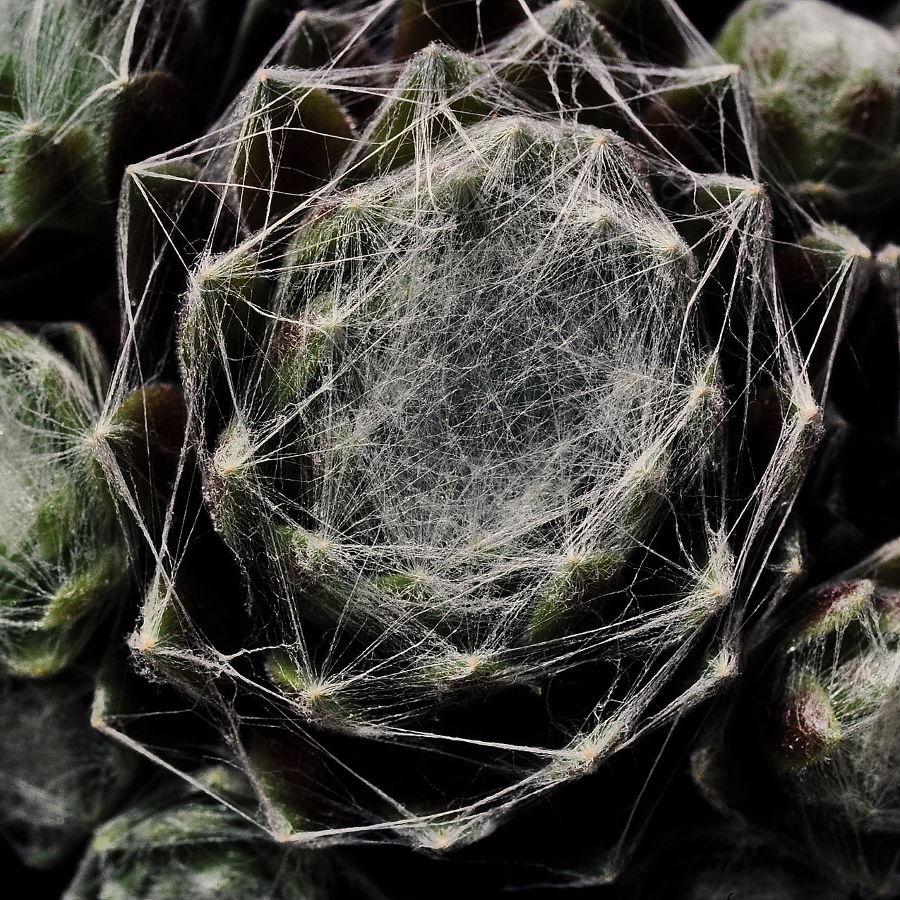 Sempervivum suculentas