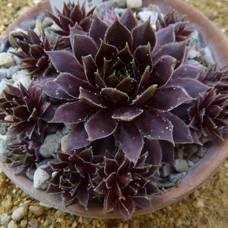 Sempervivum Dark Beauty