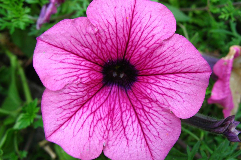 jardincelas primavera abril jardin petunia