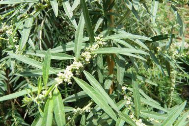 Hierbaluisa - Aloysia citriodora