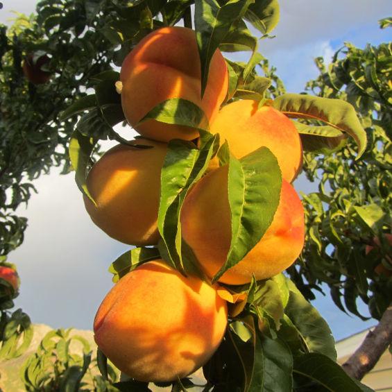 agosto frutales