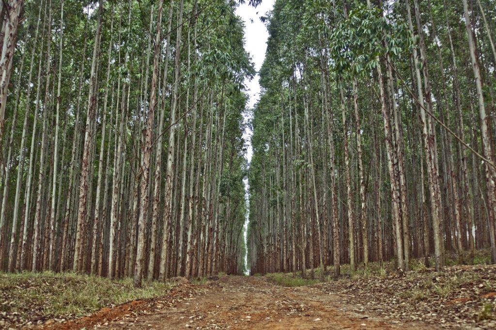 El-crecimiento-de-plantaciones-de-eucalipto-se-calcula-desde-la-nube